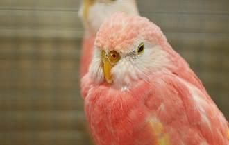 超夢幻「水蜜桃鸚鵡」仙氣逼人 粉嫩毛色美炸