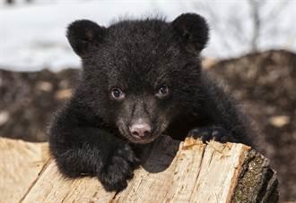 小黑熊待門外超兇狂叫囂 母熊現身牠秒孬被叼回家