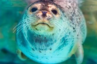 小海豹被逼「脖子套繩」拉船 畫面令人心碎