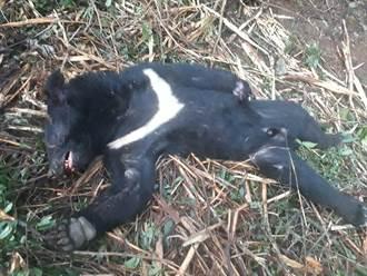 冷血山老鼠獵殺吃台灣黑熊  長鬃山羊也下肚