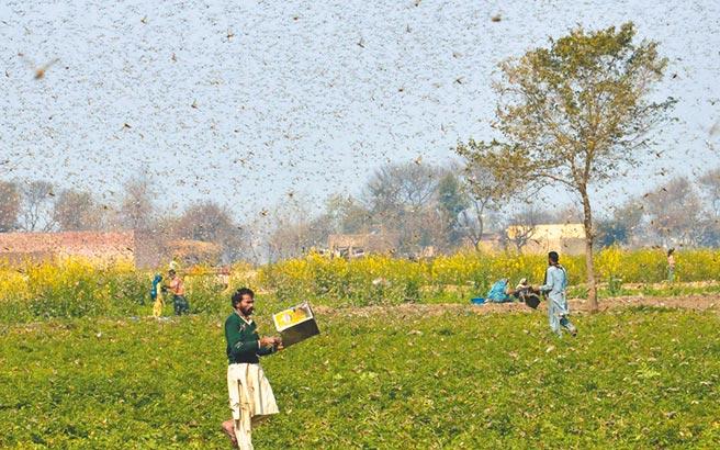 今年初巴基斯坦東部蝗災肆虐,農民在田地驅趕蝗蟲。(新華社資料照片)
