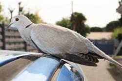 灰斑鳩大膽豪車上築巢 杜拜最帥王子霸氣不開送鳥孵蛋