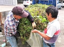 移除綠色殺手 苗縣17日起收購小花蔓澤蘭地點增至4公所