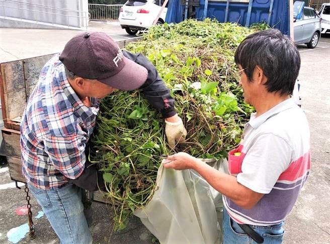 移除綠色殺手,苗栗縣政府將於8月17日起收購小花蔓澤蘭植物體,今年有4鄉鎮市公所受理收購。(苗栗縣政府提供/巫靜婷苗栗傳真)