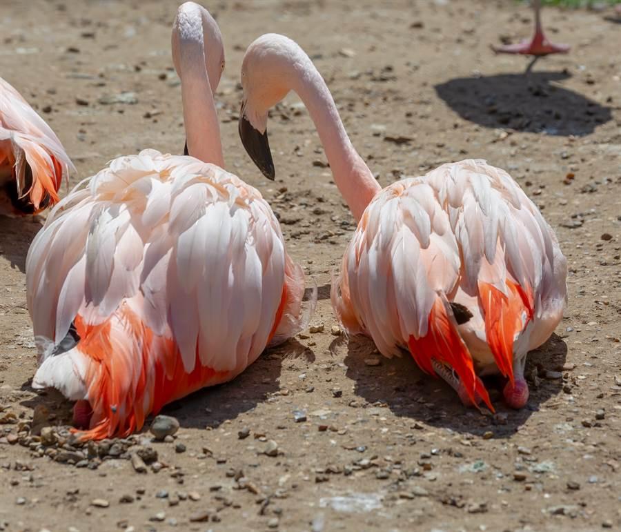 紅鶴熱到中暑倒地喝水,沒想到是誤會一場(示意圖/達志影像)