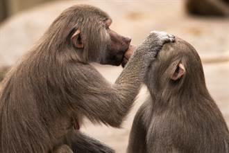 猴子路邊忘情激吻 突見鏡頭愣3秒後嬌羞跑開