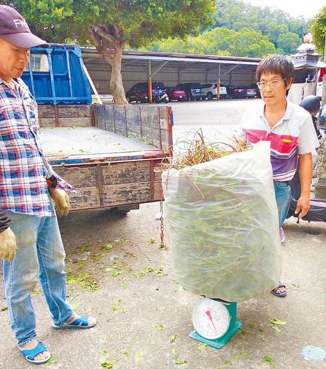 移除綠色殺手,苗栗縣政府將於8月17日起收購小花蔓澤蘭植物體,每公斤5元。(苗栗縣政府提供/巫靜婷苗栗傳真)