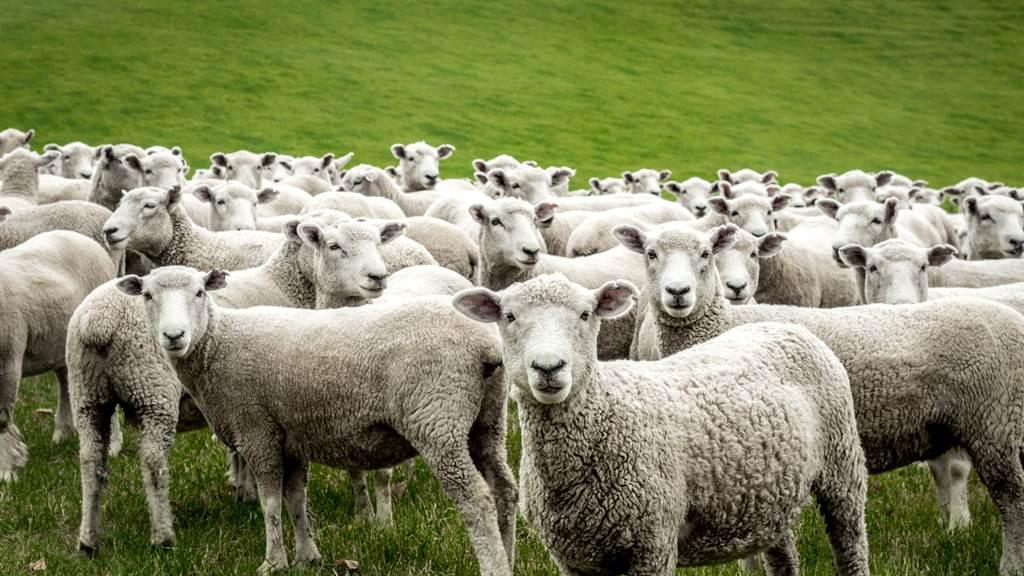 媽傳訊息「快看窗外」一看驚見上百隻綿羊時間凍結(示意圖/達志影像)