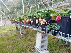 新品種「戀香」草莓種苗量產上市