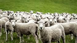 媽傳訊息「快看窗外」一看驚見上百隻綿羊時間凍結