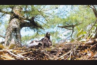 衛星追蹤林鵰首例 日飛4小時