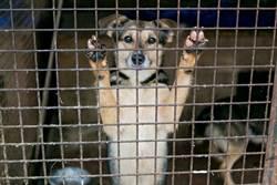 金正恩要人民交出寵物狗 恐淪入狗肉市場