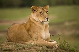 睡覺突感覺胸悶 男睜眼驚見巨大母獅趴胸口