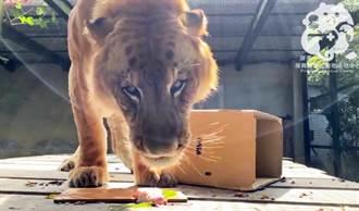 全台唯一獅虎10歲生日 屏科大準備肉壽司慶生