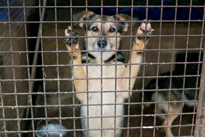在金正恩稱養寵物是遭資本主義污染的趨勢後,傳北韓強制要求平壤居民交出寵物狗,恐淪入狗肉市場。(示意圖/達志影像)