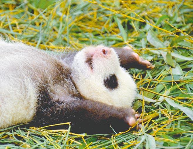 台北市立動物園邀民眾一起參與大貓熊寶寶圓仔妹的「幫我取好名」活動。(台北市立動物園提供/張薷台北傳真)