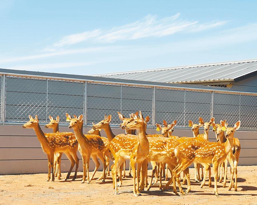 長春市雙陽區鹿鄉鎮的梅花鹿人工養殖場。(記者藍孝威攝)