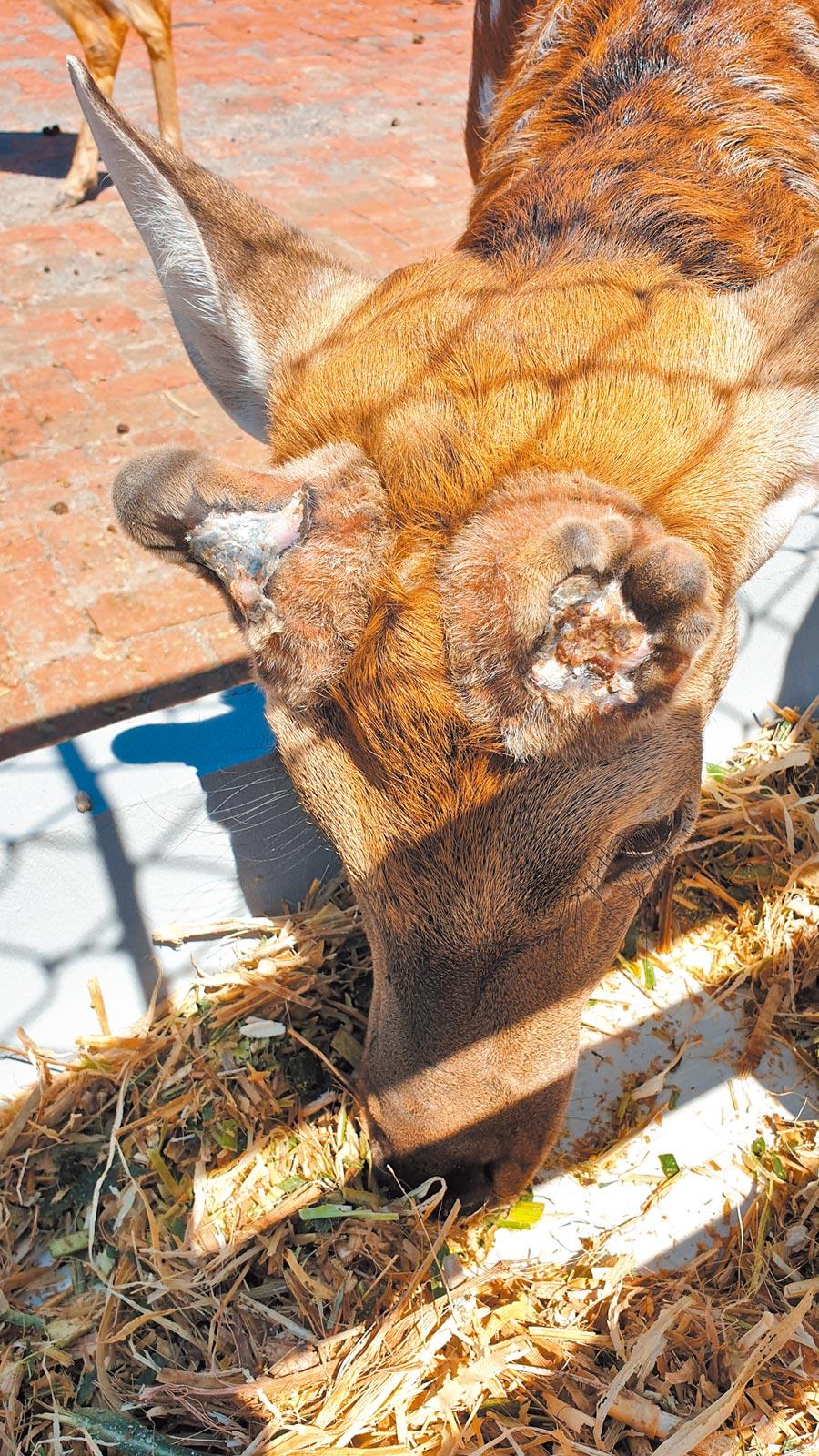 鹿茸被割取後,傷口結痂的雄鹿。(記者藍孝威攝)