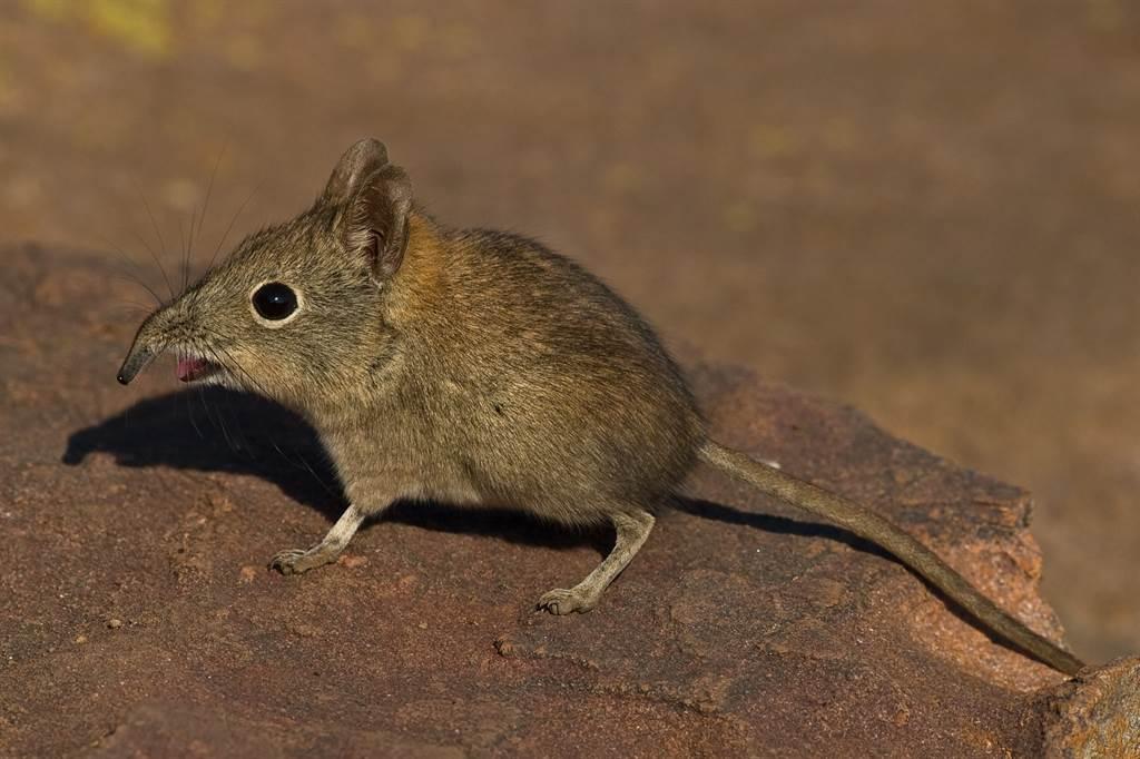 象鼩(elephant shrew)擁有像大象的長鼻子,體型又小得如老鼠(示意圖/達志影像)