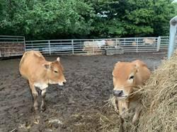 放牛吃草 免費「勞工」解決光電板雜草叢生問題