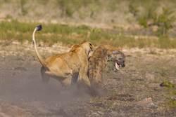 落單母獅遭20隻鬣狗殘忍吞沒 下秒奇蹟扭轉命運