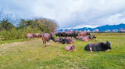 拍賣野牛惹議 新北高灘處喊卡
