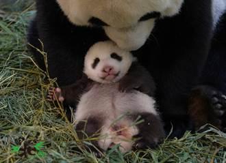 超級貓熊一掌養5子 圓圓承基因母愛大噴發