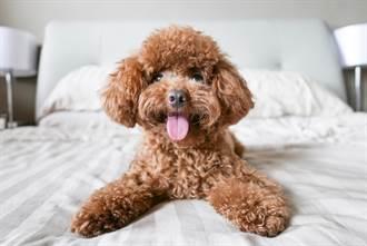薩摩耶爽睡不陪玩 泰迪幼犬「爬山式」萌踩上身一起趴睡