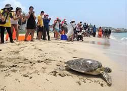 澎湖時裡沙灘野放9隻海龜,上百民眾目送祝福一路平安游回大海家
