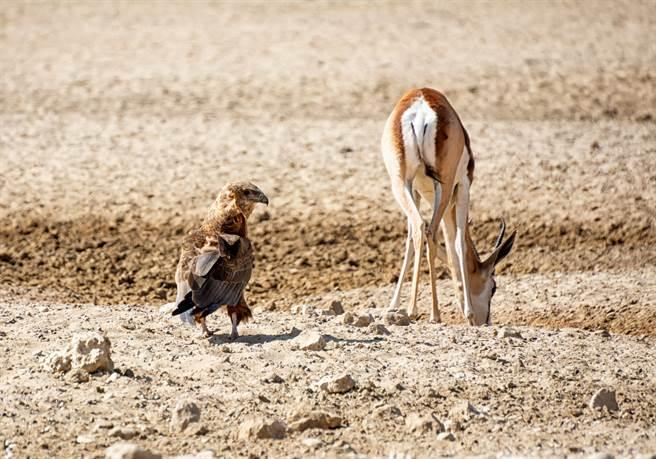 小岩羚(steenbok)遇到鵰與狼同時攻擊(示意圖/達志影像)