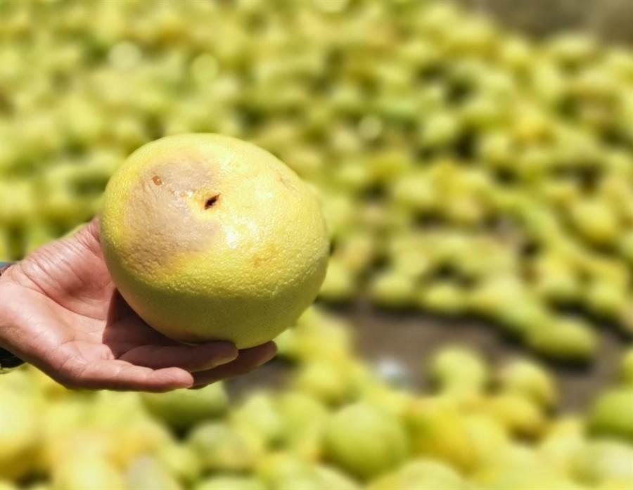部分農友將快腐爛的劣果、壘球般小的文旦也混雜在大果中一起交貨。(劉秀芬攝)