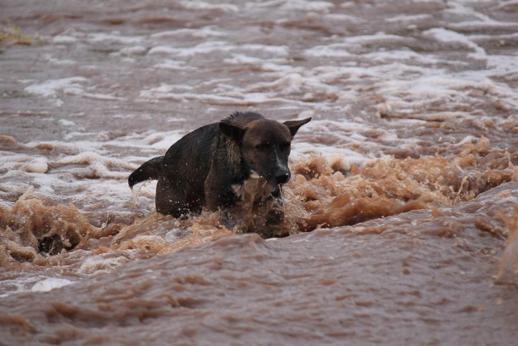 狗一家受困洪水被救起,沒想到竟少了一隻,狗媽媽奮不顧身衝入急流救兒(示意圖/達志影像)