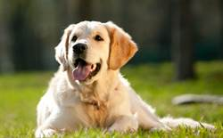 小金毛叼碗超跩討飯突鬆口 被嚇到奪門而出網笑:狗界之恥