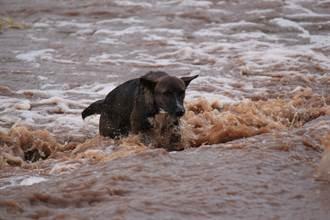 小奶狗受困洪水被救!狗媽驚覺少一隻 衝入急流救寶寶