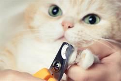 竟然不是喵喵叫 賓士貓剪指甲發出「哦哦」魔性抖音