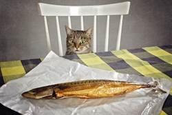 吃魚突被3雙炙熱眼神狂盯 貓皇圍觀奴才壓力大到吃不下