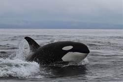 虎鯨尾巴一拍海豹彈飛12公尺 重摔入海慘被分食