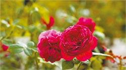 臺北玫瑰園 24小時浪漫盛開