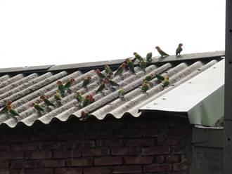 誇張 鳥店老闆不做生意竟將數十隻牡丹鸚鵡放生