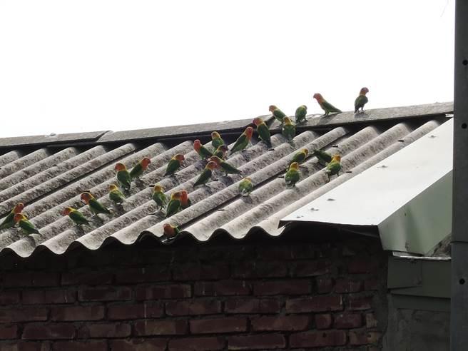 今天上午鳥店屋頂、附近樹上及電線杆都能看到牡丹鸚鵡的蹤影。(張毓翎攝)