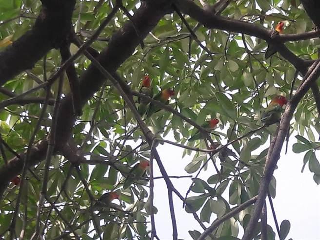 據悉,這名店主養了100多隻牡丹鸚鵡,今天一早有人發現50幾隻牡丹鸚鵡在徘迴。(擷取自馨滿義竹 心滿意足臉書/張毓翎嘉義傳真)