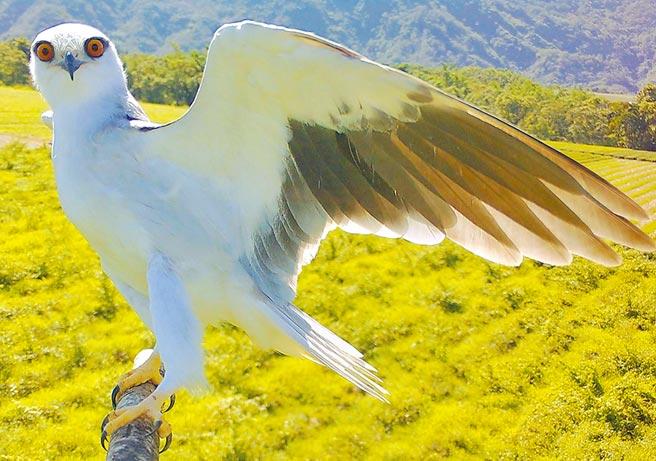 屏科大鳥類生態研究室設立老鷹棲架,並在棲架上裝設監測相機,拍攝到許多黑翅鳶的可愛鏡頭。(屏科大提供/潘建志屏東傳真)