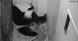 懷孕機率不到1% 22歲高齡熊貓生了
