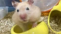 貪吃鼠硬扛巨大罐罐回家 小腳錯亂倒退嚕超魔性
