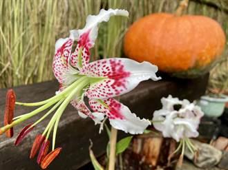 「花現豔百王」峭壁的精靈來訪平溪紫東社區