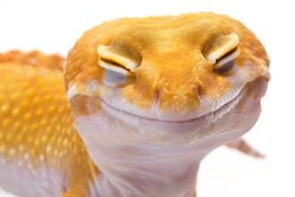 豹紋壁虎天生笑臉 瞇眼憨笑吐舌照療癒31萬人