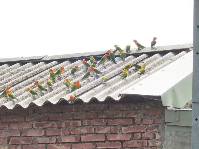 嘉義縣布袋鎮一家鳥店將歇業,店主前晚將店裡的牡丹鸚鵡放生,22日上午,鳥店屋頂、附近樹上及電線杆都能看到牡丹鸚鵡。(張毓翎攝)