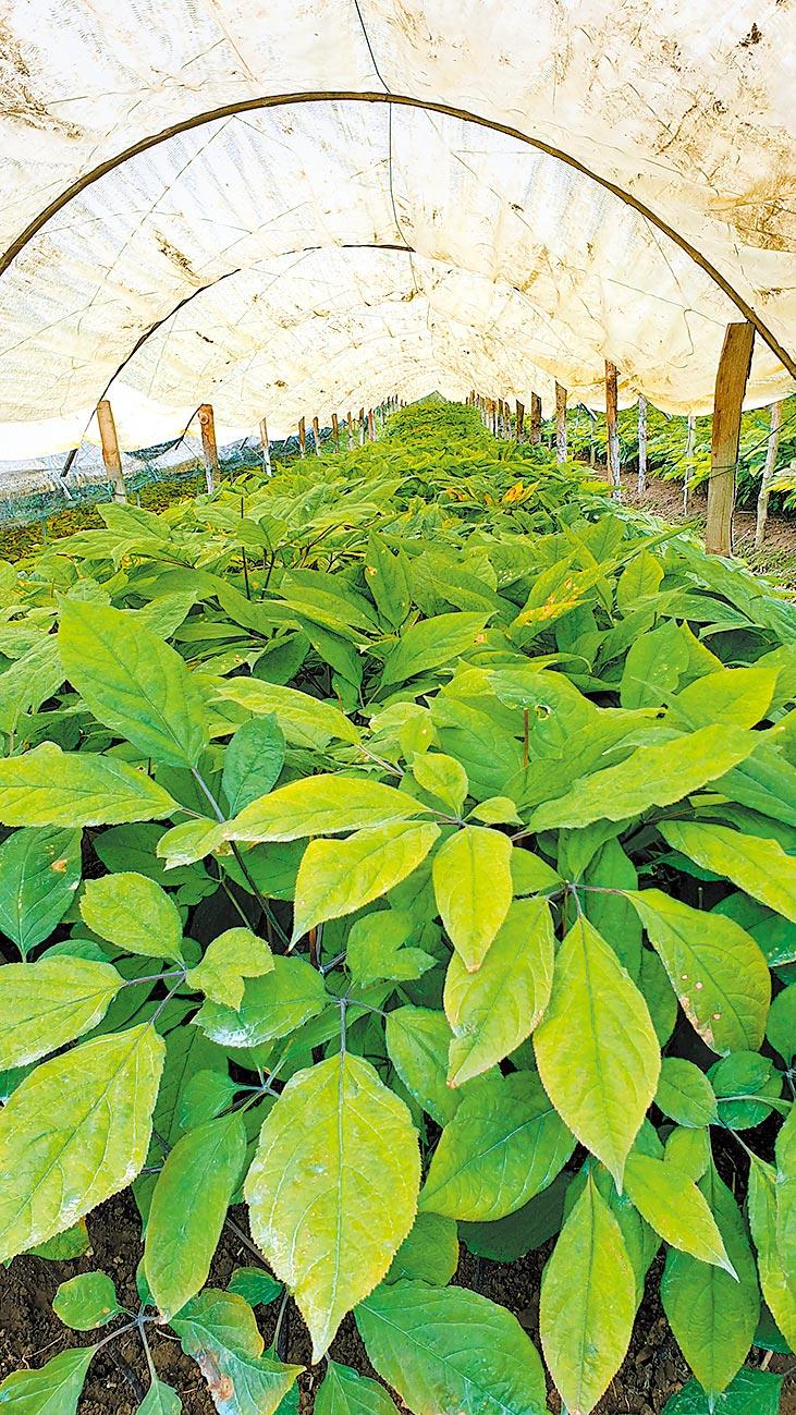 吉林省人工種植人參成為產業,參農用鐵絲網、塑膠布搭建出簡易的種植大棚。圖為大棚內的人參幼苗。(記者藍孝威攝)
