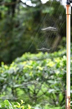 发挥环境影响力 有机种茶的「蛛」多好处