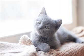 灰白小奶貓長大突「被挑染」 網見超萌變身全融化